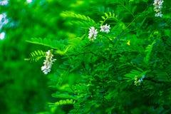 Fabaceae Lindl Immagine Stock Libera da Diritti