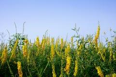 Fabaceae (Papilionaceae) flower. Close up of Fabaceae (Papilionaceae) flower Royalty Free Stock Images