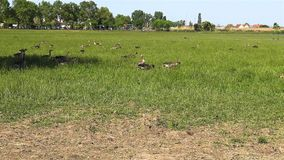Fabalis del Anser, Bean Goose, una familia más baja del Rin en campo de la reserva de naturaleza del thr almacen de video