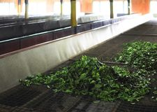 Fabbrica del tè del Ceylon Immagini Stock