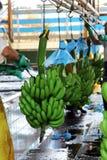 Fabbrica della banana Fotografie Stock Libere da Diritti