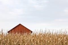Fabbricato agricolo rosso dietro il cereale asciutto alto Immagine Stock Libera da Diritti