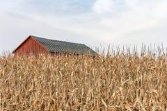 Fabbricato agricolo rosso dietro il cereale asciutto alto Fotografia Stock Libera da Diritti