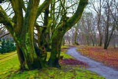 Fabelachtig landschap - grote die bomen met mos, de weg, de gevallen bladeren worden behandeld Stock Fotografie