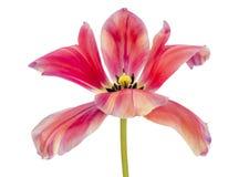 Fabelachtige roze tulp royalty-vrije stock foto's