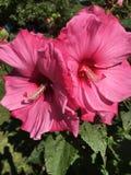 Fabelhafter pinkfarbener Hibiscus lizenzfreies stockfoto