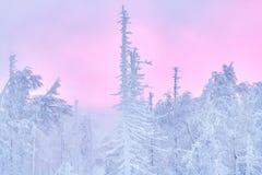 Fabelhafter Weihnachtswinterwald bei Sonnenuntergang, alles wird mit Schnee bedeckt Kiefer und gezierte Bäume bedeckt im Schnee b Lizenzfreie Stockbilder