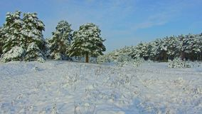Fabelhafter Winterwald, Schneesturm im Kiefernwinterwald, Blizzard im Wald, Forest Trees In Snow Storm Lizenzfreie Stockbilder