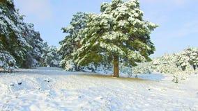 Fabelhafter Winterwald, Schneesturm im Kiefernwinterwald, Blizzard im Wald, Forest Trees In Snow Storm Stockbild