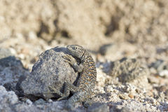 Fabian's Lizard in Atacama Desert Chile Royalty Free Stock Image