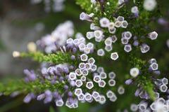 Fabiana imbricata. Flower close up royalty free stock image