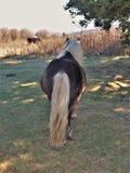 Fabio Feral Pony foto de stock royalty free
