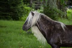 Fabio with the long mane and tail of Grayson Highlands grazes. Grayson Highlands State Park wild ponies Stock Photos