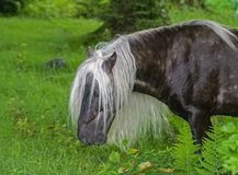 Fabio with the long mane and tail of Grayson Highlands grazes. Grayson Highlands State Park wild ponies Stock Image