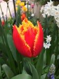 Fabio tulip in garden. Close up of orange and yellow fabio tulip in sunny garden Royalty Free Stock Photos