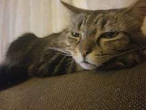 Fable the Cat. Cat resting on the back of a couch royalty free stock photography