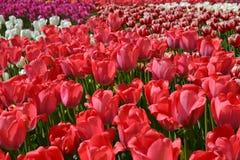 Fabricación de flores crecientes Plantación grande de tulipanes rojos el día soleado en primavera Espacio abierto de la exposició imagenes de archivo