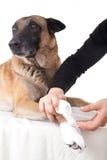 Fabricación de un vendaje de la pata. Primeros auxilios en un perro. Imágenes de archivo libres de regalías