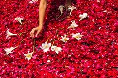 Fabricación de una alfombra procesional de la semana santa de pétalos color de rosa Fotografía de archivo libre de regalías