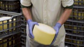 Fabricante do queijo que guarda a roda do queijo no armazenamento do queijo durante o processo de envelhecimento video estoque