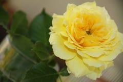 Fabuloso aumentou no amarelo fotografia de stock royalty free