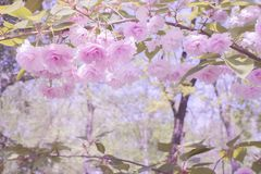 Fabulous beautiful landscape. Soft pink flowers of Japanese sakura and branches with leaves. stock photos