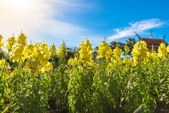 Fabulous beautiful yellow rape flowers on a background of blue sky Royalty Free Stock Image