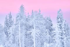 Fabulous Christmas winter forest at sunset, everything is covered with snow. Pine and spruce trees covered in snow. Blizzard. And snowstorm covered all of the Royalty Free Stock Photo