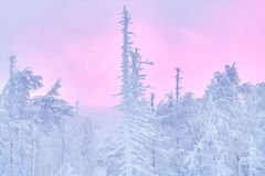 Fabulous Christmas winter forest at sunset, everything is covered with snow. Pine and spruce trees covered in snow. Blizzard. And snowstorm covered all of the Royalty Free Stock Images