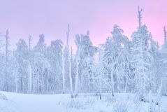 Fabulous Christmas winter forest at sunset, everything is covered with snow. Pine and spruce trees covered in snow. Blizzard. And snowstorm covered all of the Stock Photo