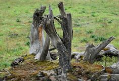 Fabulous forms of old stumps.Dry stump on green grass background. Ecology and purity of our planet stock images
