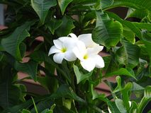 Fabulous fragrant pure white scented blooms with yellow centers of exotic tropical frangipanni species plumeria.  royalty free stock images