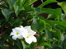 Fabulous fragrant pure white scented blooms with yellow centers of exotic tropical frangipanni species plumeria on tree.  royalty free stock image