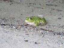 Frog three-quarter. Frog on a sandy river bank Stock Photography