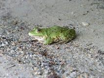 Frog closeup Royalty Free Stock Photography