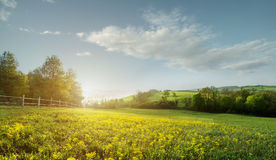 Fabulous landscape, field early in the morning , beautiful yellow flowers in the foreground. Royalty Free Stock Photos