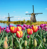 Fabulous landscape of Mill and tulips in Holland Royalty Free Stock Images