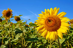 Fabulous landscape of single sunflower and bee against the sky o Royalty Free Stock Image