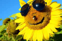 Fabulous landscape of sunflower with and face with a smile and s Royalty Free Stock Image