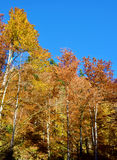 Fabulous landscape of yellow trees in autumn forest (anti-stress Royalty Free Stock Photography