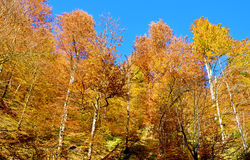 Fabulous landscape of yellow trees in autumn forest (anti-stress Royalty Free Stock Images