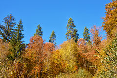 Fabulous landscape of yellow trees in autumn forest (anti-stress Royalty Free Stock Photo