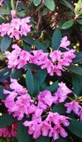 Fabulous panorama with pink rhododendrons in the rays of the spring sun.  royalty free stock photography