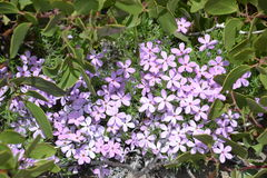 Fabulous phlox stock photography