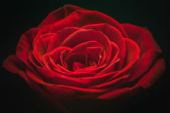 Fabulous red rose Stock Photography