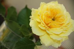 Fabulous rose in yellow. Single rose in yellow close up royalty free stock photography
