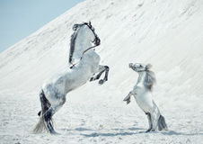 Fabulous scene of the jumping horses Stock Photos
