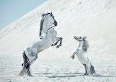 Fabulous scene of the jumping horses Stock Photos