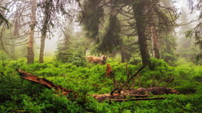 Fabulous scenery, cow grazing on the hill in fog, Carpathian mountains, Ukraine. Royalty Free Stock Photography