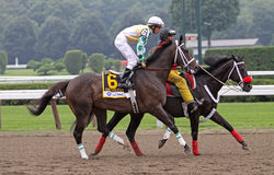 Fabulous Strike wins 2009 Alfred G. Vanderbilt. SARATOGA SPRINGS, NY - AUG 9: Fabulous Strike, under jockey Ramon Dominguez, enters the track before winning the Royalty Free Stock Image
